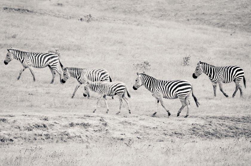 Zebras! In San Simeon!