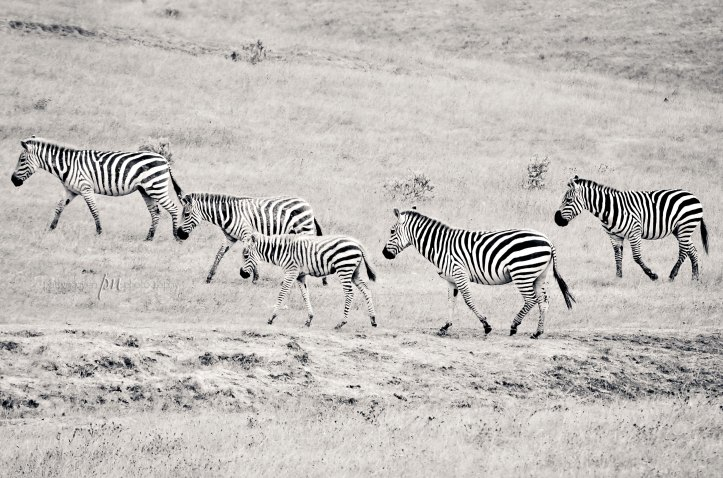 Random zebras by the side of the road. Had to pull over!